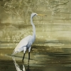 Chincoteague-Egret