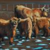 Highland-Cattle-1