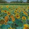 """Sunflowers at Poplar Grove"", pastel $750"